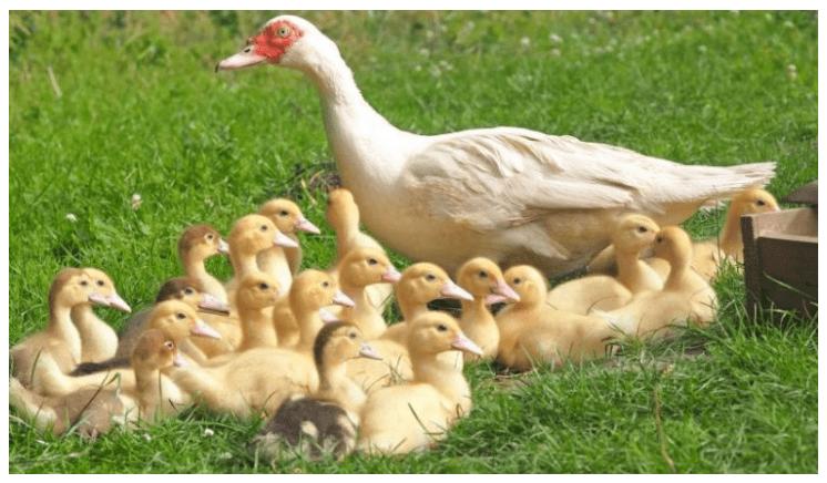 Indukan Entok bersama anak anak ternak entok cepat besar Jual Ayam Hias HP : 08564 77 23 888 | BERKUALITAS DAN TERPERCAYA ternak entok cepat besar Manajemen Pakan Entok Supaya Cepat Besar