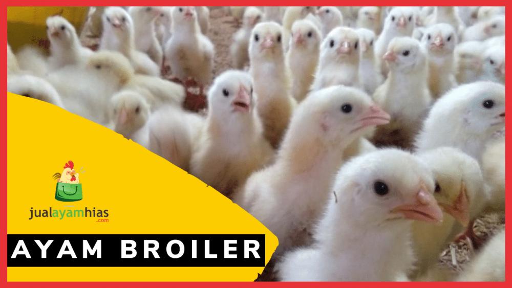 Ayam Broiler jualayamhias.com
