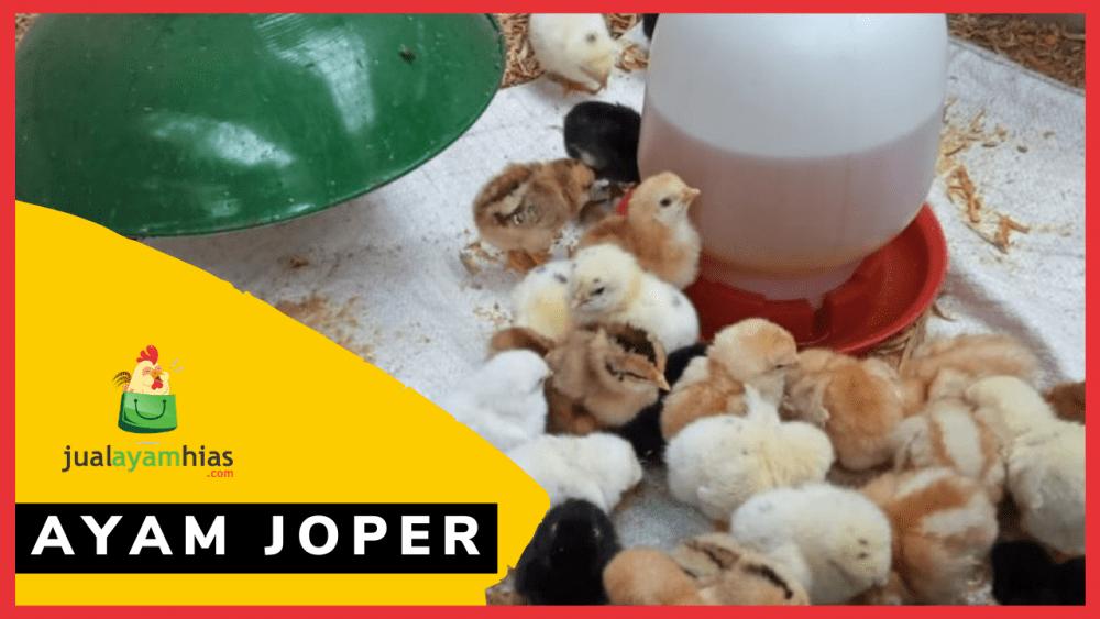 Ayam Joper jualayamhias