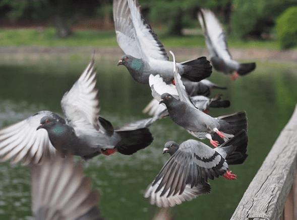 Burung merpati adalah burung cantik yang terkenal sangat dekat dengan manusia | Burung Merpati Terbang