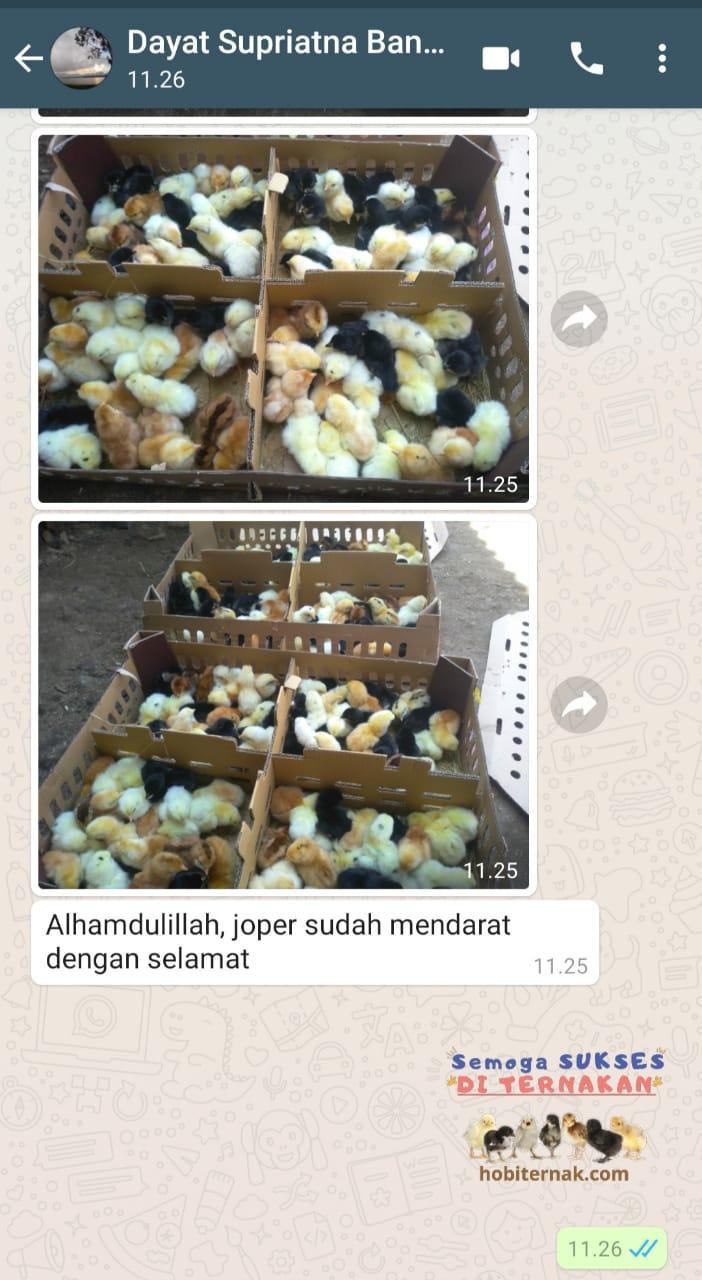 Testimoni Pak Dayat 1 Jual Ayam Hias HP : 08564 77 23 888 | BERKUALITAS DAN TERPERCAYA PROMO JOPER FIX