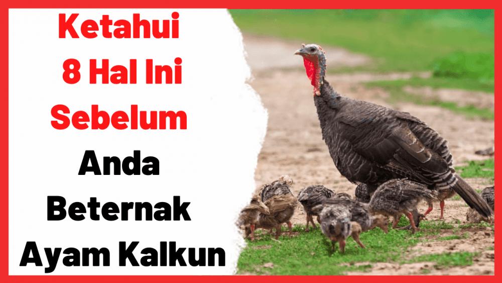 Ketahui 8 Hal Ini Sebelum Anda Beternak Ayam Kalkun | Cover
