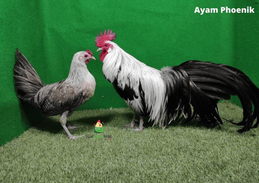 Ayam Phoenik Indukan