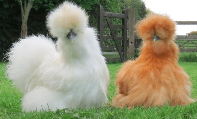 American silkie adalah jenis ayam kapas yang memiliki bulu tebal dan lebat | Image 1
