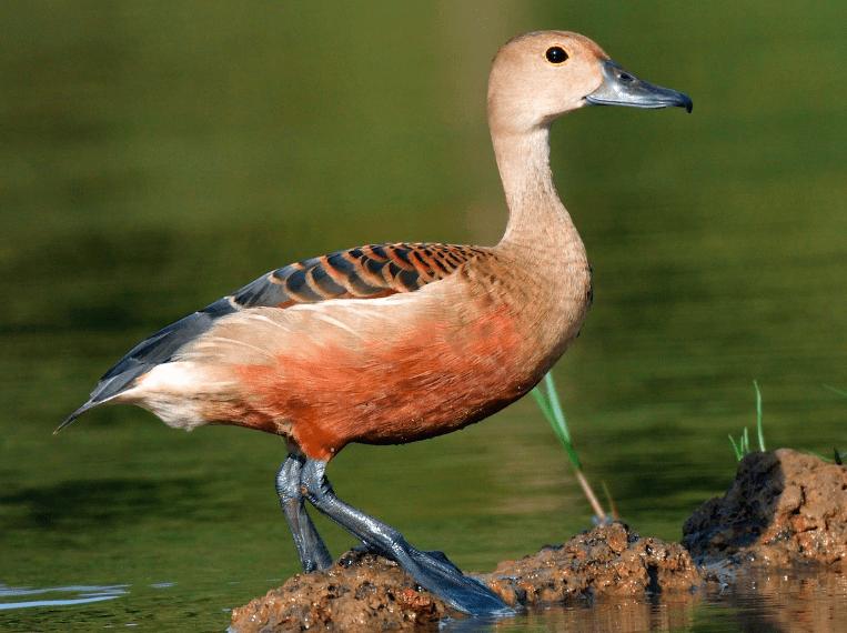 Burung Belibis ini merupakan hewan pemakan tumbuh – tumbuhan, keberadaannya pun banyak berhabitat di daerah danau, rawa, hutan magrove dan sawah. | images 1