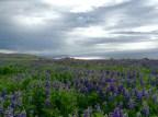 Altamuzes de Alaska