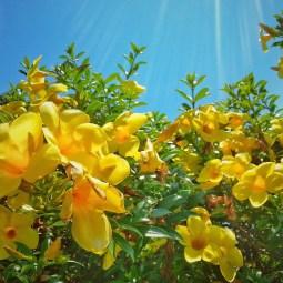 Yellows reaching the sky.