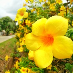 Grandma's golden fence of flowers.