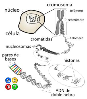 Cromosomas. Genes.