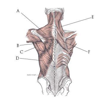 Músculos de la espalda
