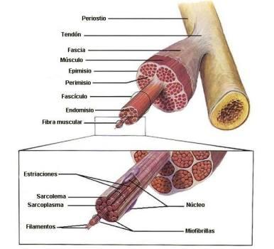 Músculo en detalle