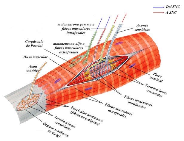 Receptores propioceptivos del músculo y el tendón.