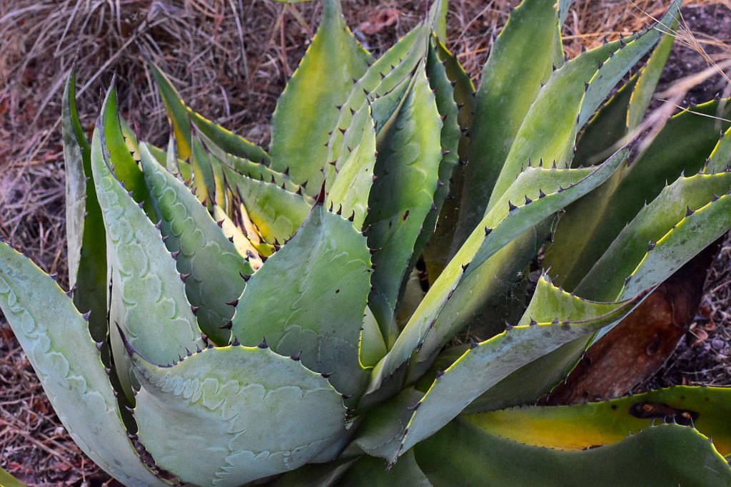 Plantas de henequen que encontramos a nuestro paso