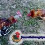 Pengobatan Sabung Ayam Lumpuh Sabung Ayam Online