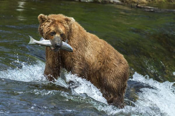 follow through+bear+salmon+success
