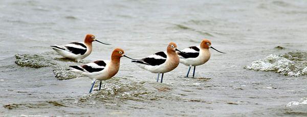 midlife transitions+american-avocets-shorebirds