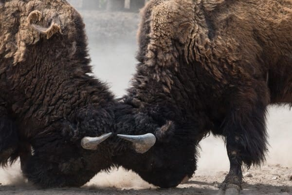 Sibling friction over elder care+bison-butting-horns