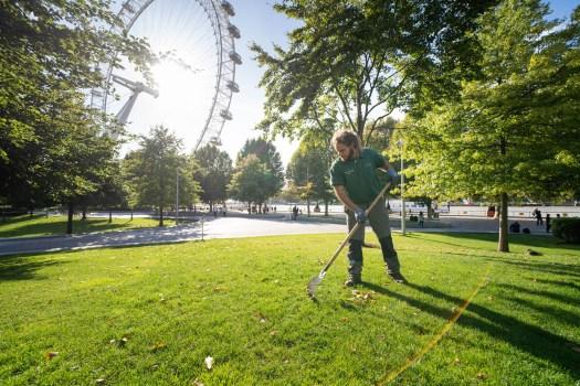 Raking leaves in Jubilee Gardens with London Eye behind