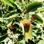Summer in Durham means rust fungi on Rosaceous ornamentals