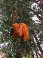 Gymnosporangium juniperi-virginianae on Juniperus virginiana