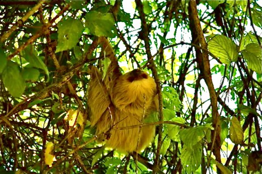 2 toed sloth in our tree