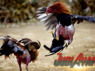 Beberapa Cara Curang Dalam Pertandingan Ayam Aduan