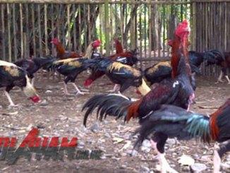 Cara Gampang Ternak Ayam Bangkok Bagi Pemula