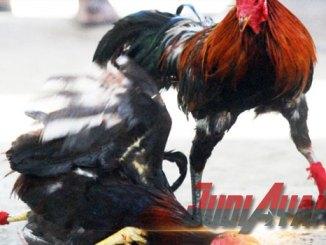 Cara Melatih Otot Sabung Ayam Jawara