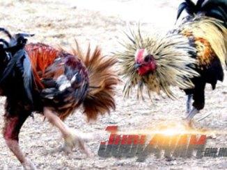 Cara Menganalisa Gaya Petarung Sabung Ayam