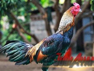 Cara Merawat Petarung Ayam Birma Aduan
