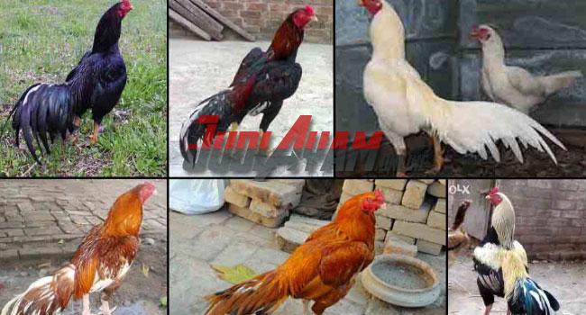 Jenis Ayam Aduan Yang Paling Populer Di Judi Online