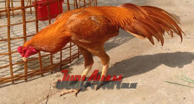 Ciri-Ciri Pada Ayam Bangkok Wangkas Emas
