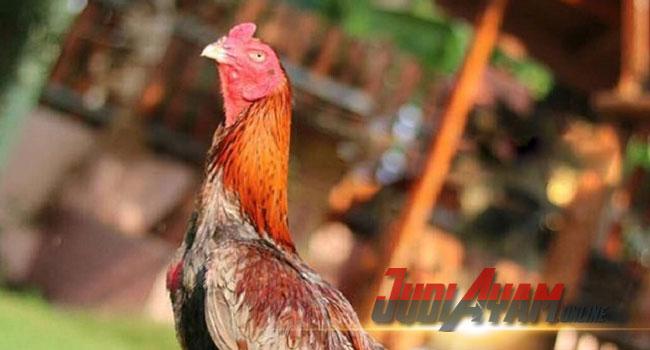 Mengatasi Ayam Bangkok Jatuh Mental Akibat Bertarung