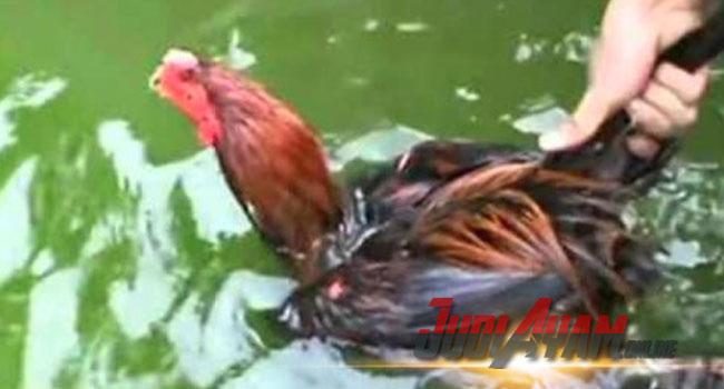 Cara Melatih Pukulan Ayam Agar Cepat Dan Keras