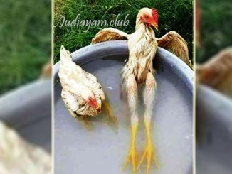 Cara Mengatasi Ayam Bantet Atau Kelebihan Otot