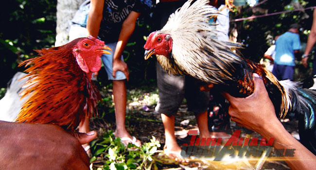 Keunggulan Dari Sabung Ayam Mathai Dan Ciri-Cirinya