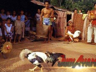 Perawatan Ayam Yang Perlu Di Perhatikan Sebelum Bertarung