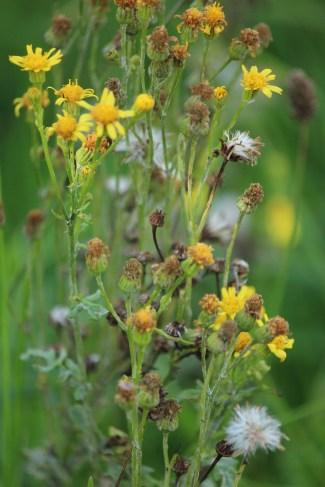 Judi castille French yellow wild flowers