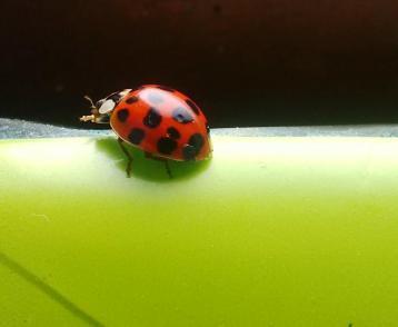 Judi Castille Ladybird