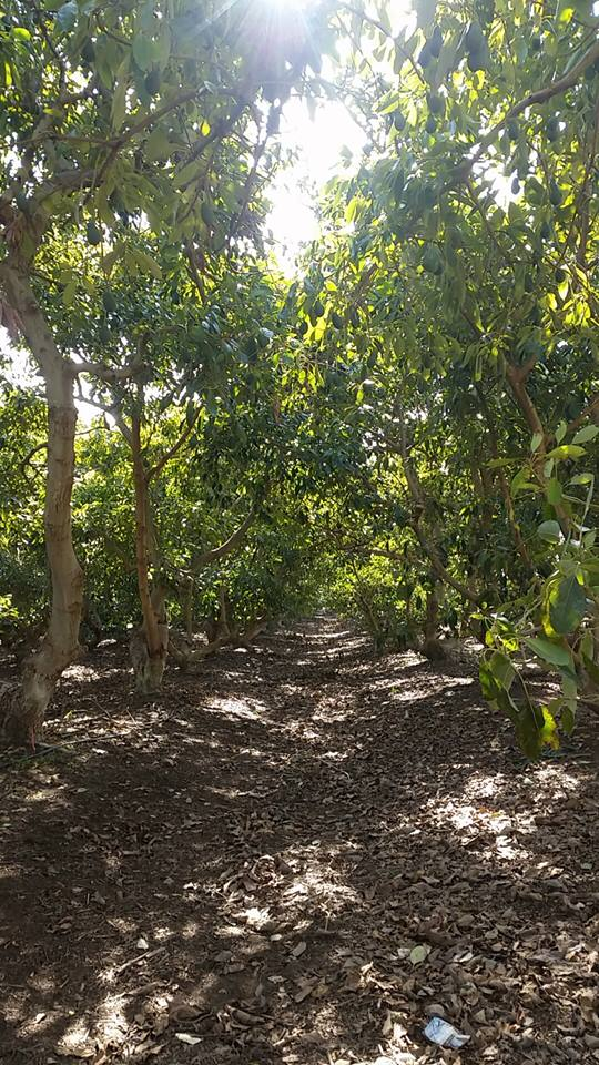 Avocado plantation in Nes Ammim