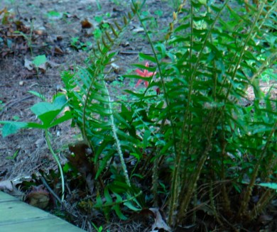 Fire Pink peeks through ferns, while toad shelters under a trillium leaf.