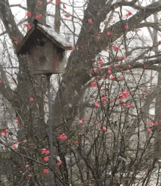 Snow blurs quince's pink.