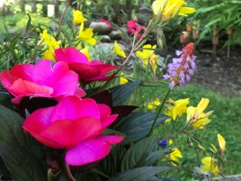 Magenta impatiens and purple, red-topped primula viali