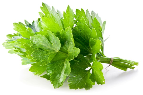 Bunch of green coriander on a white background.
