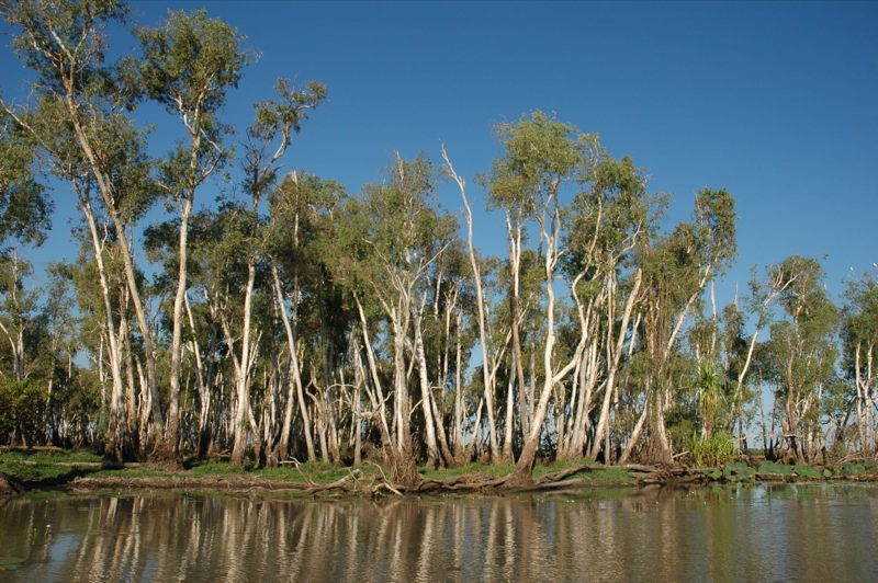 Mary River Gums 2005