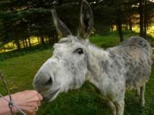 1-donkey-56024_640 (1)
