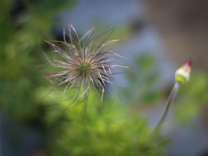 Pulsatilla seed head spring garden
