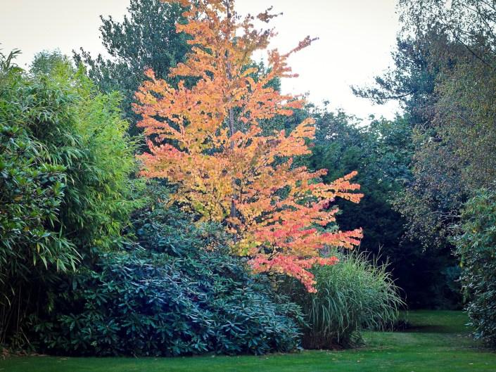Woodland garden stunning Katsura tree