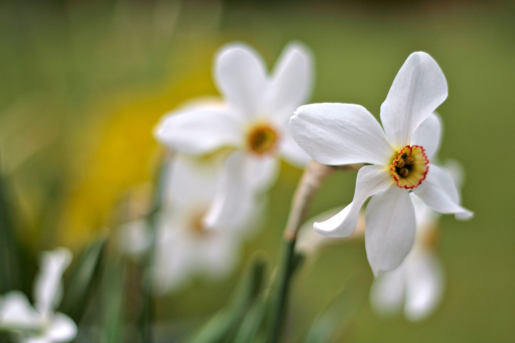 Narcissus 'Pheasant's Eye'