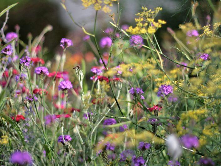 Mixed herbaceous border Verbena bonariensis